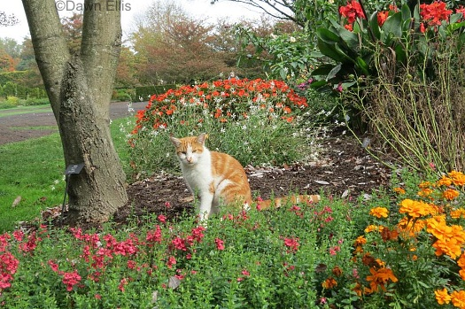 longwood-cat-persimmon-in-garden