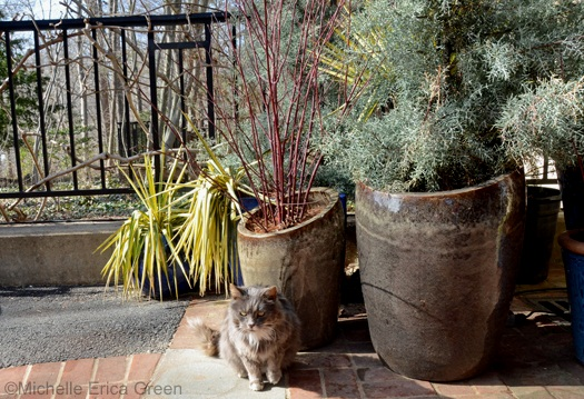 longwood-cat-vincenzo-with-planters
