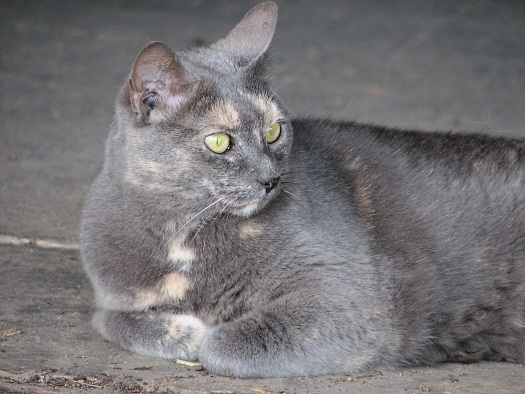 longwood-gardens-silver-grey-cat